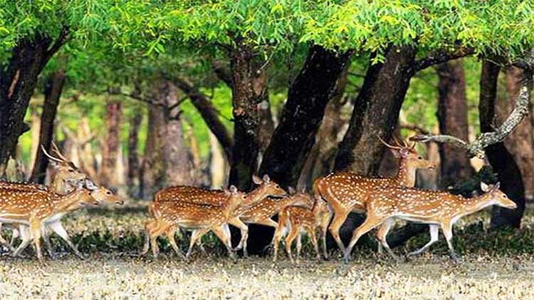Sundarbans deer bangladesh
