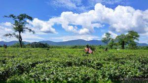 Lovachora Tea Garden, Sylhet
