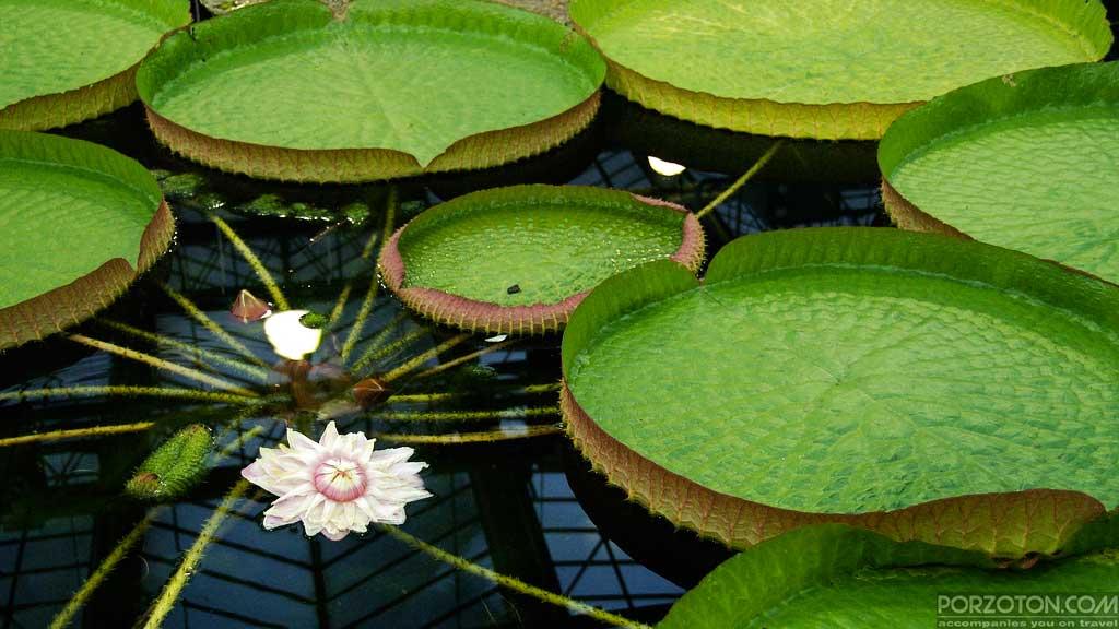 Amazon lily, a rare exotic shrub in a pond of Baldha Garden, Dhaka.