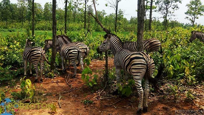 Zebras in Bangabandhu Sheikh Mujib Safari Park, Gazipur
