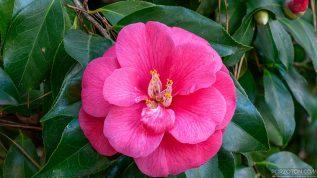 Camellia Japonica in Baldha Garden, Dhaka