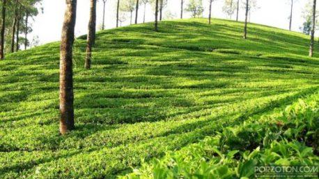 Malnicherra Tea Estate Garden, one of the best places to visit in Sylhet.