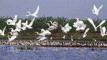 Migratory birds in Hakaluki Haor.