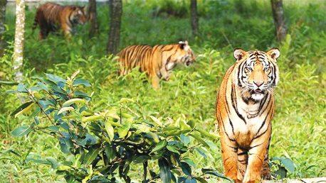 Sundarbans, Royal Bengal Tiger, Wildlife Sanctuary, Bangladesh