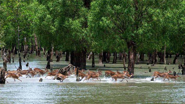 The way Chitra deer grazes across the Sundarbans in Bangladesh.
